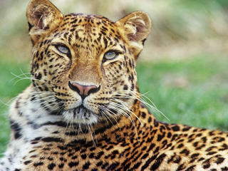 Amur leopardxl 233224