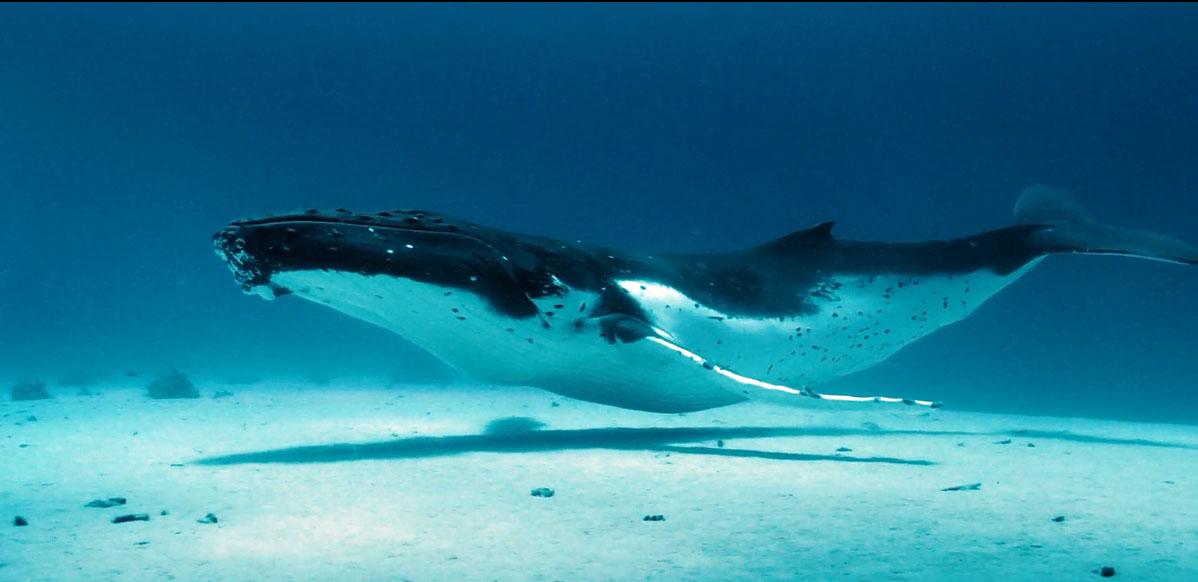 Baleine a bosse 1